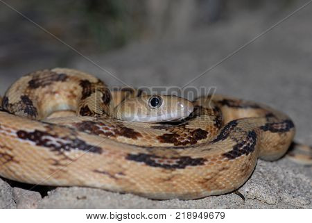 The Trans-Pecos ratsnake showing off the huge eyes used for hunting as a stricly nocturnal species. poster