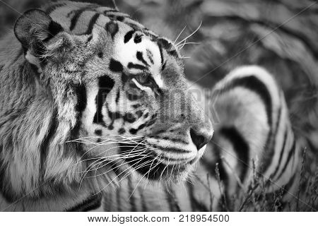 A tiger portrait in black and white