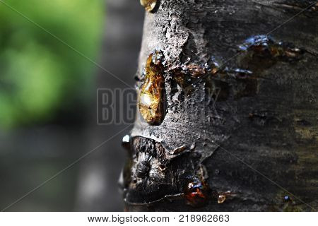 The rubber resin on tree, like a tear from the tree