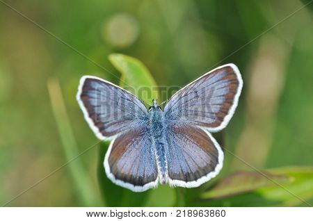 Plebejus argus, Silver Studded Blue Butterfly feeding on wild flowers.