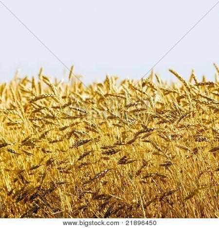 Wheat ears on blue background.
