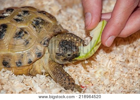 A common land tortoise eats a piece of apple in a sawdust from a hand
