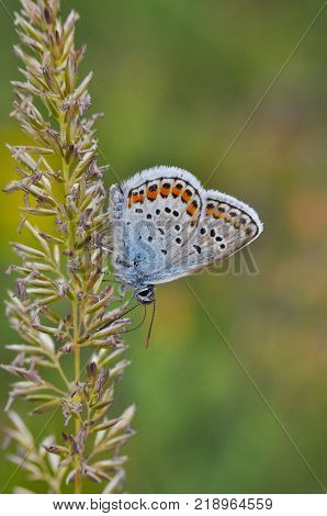 Plebejus argus, Silver Studded Blue common European butterfly in a meadow
