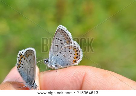 Plebejus argus, Silver Studded Blue. a common butterfly in Europe on human hand
