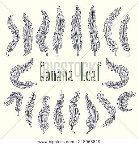 Hand Drawn Tropical Leaf Set With Banana Leaves On Light Background. Hand Drawn Jungle Illustration