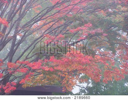 Foggy Autumn Foliage