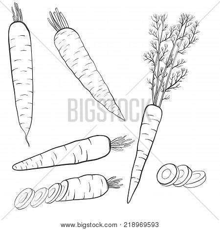 vector drawing carrots, isolated vegetables, hand drawn illustration