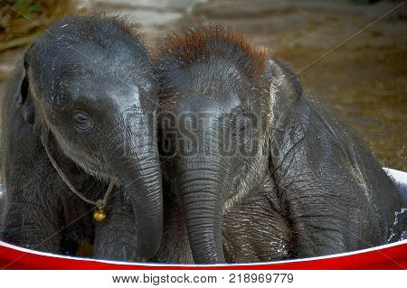 Two cute little baby elephants lean into each other inside a large water basin. They look sleepy and tired after playing with splashes of water.