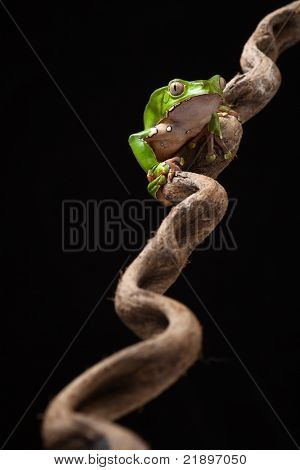 Frog in Amazon rainforest monkey tree frog Phyllomedusa bicolor sitting at night on a diagonal branch beautiful green amphibian and nocturnal and poisonous animal macro copy space black background