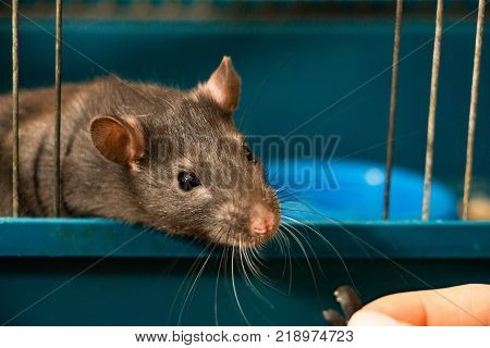 Gray-colored domestic rat looks out of the cage
