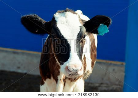 Photo of a black and white cow on a cattle farm