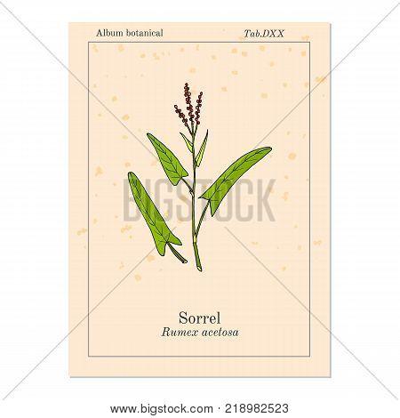Common sorrel Rumex acetosa , garden plant. Hand drawn botanical vector illustration