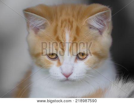 Portrait of a sad red-haired Scottish straight kitten.