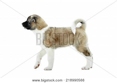 Little cute american s akita puppy with brown and white fur, fluffy tail and paws. Nice symbol of the next year of Earth Dog. Photo was made on the white studio background.
