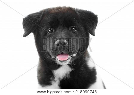 Nice close-up of the american s akita puppy, made in a studio with white background. It has soft, fluffy black fur with white spots , cute rosy tongue and little wet nose. Puppy is a symbol of 2018 year.