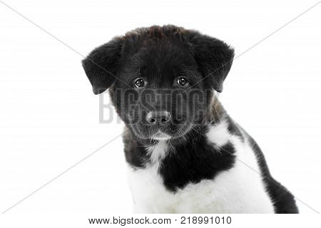 Nice close-up of the american s akita puppy, made in a studio with white background. It has soft, fluffy fur with white and black spots and little wet nose. Puppy is a symbol of 2018 year.