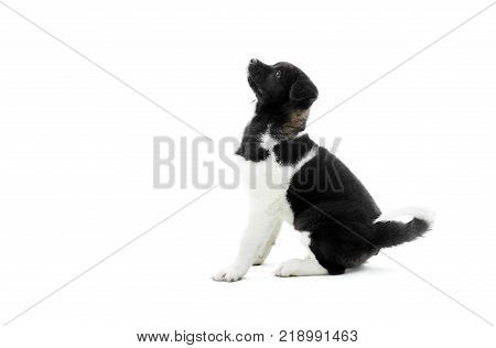American akita puppy is sitting on the white background and looking up on something. It s fur has black and white spots and it s very fluffe. Nice symbol of the next 2018 year. Photo taken in studio.