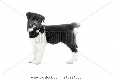 Little cute american s akita puppy with black and white spots on the fur and fluffy tail. Nice symbol of the next year of Earth Dog. Photo was made on the white studio background.