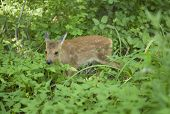 A roe deer Far-Eastern is in the taiga of the Seashore region Russia poster