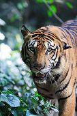 tiger close up poster