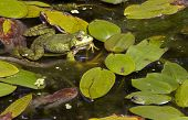 a frogs in a pond enjoying full of green leaves poster