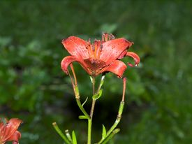 Wet Red Lily