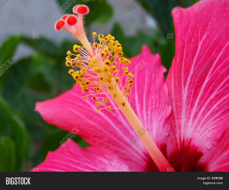 Hibiscus flower close image photo free trial bigstock hibiscus flower close up izmirmasajfo