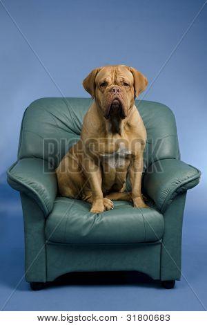 Dog on the arm chair, studio shot