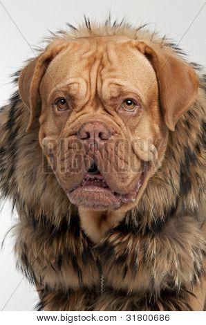 Portrait of dog wearing raccoon fur coat