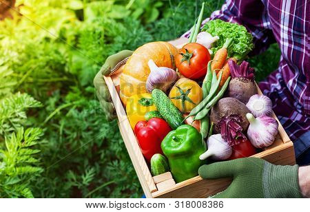 Farmer Holds In Hands Wooden Box With Autumn Crop Of Organic Vegetables Against Backyard Background.