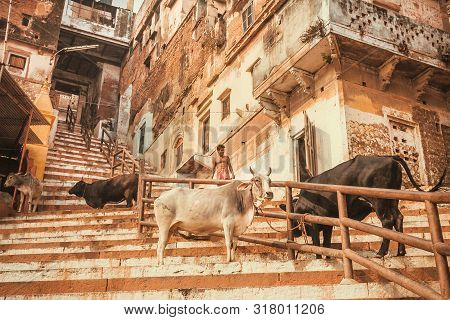 Varanasi, India: Steep Climb On The Streets Of Indian City And Cows Walking Between Grungy Houses On