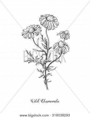 Daisy Flower Line Art Drawing. Vector Hand Drawn Engraved Illustration. Wild Chamomile Black Ink Ske