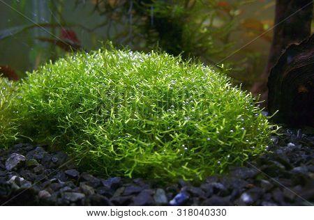 Riccia Fluitans, Whose Common Name Is Floating Crystalwort, Is An Aquatic Floating Plant. Aquarium P