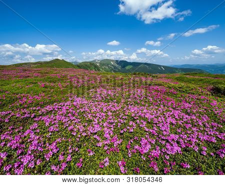 Blossoming Slopes (rhododendron Flowers ) Of Carpathian Mountains, Chornohora,  Ukraine. Summer.