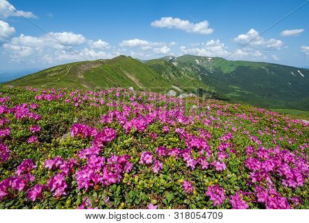 Blossoming Slopes (pink Rhododendron Flowers Close-up) Of Carpathian Mountains, Chornohora,  Ukraine