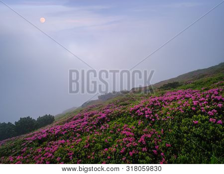 Pink Rose Rhododendron Flowers On Early Morning Twilight Summer Misty Mountain Slope With Clouds And