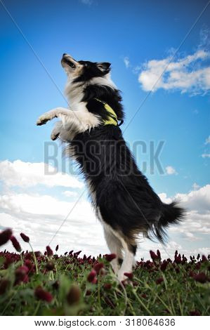 Adult Border Collie Is Cathing In Crimson Clover. He Want It So He Must Jump