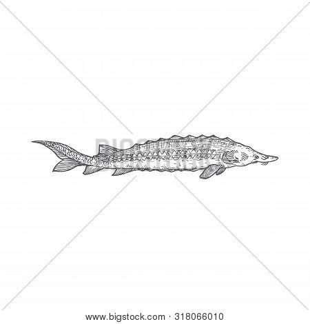 Sturgeon Hand Drawn Vector Illustration. Abstract Beluga Fish Sketch. Engraving Style Drawing.