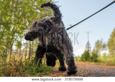 Cute Black Small Dog Pissing Or Wee On Grass.