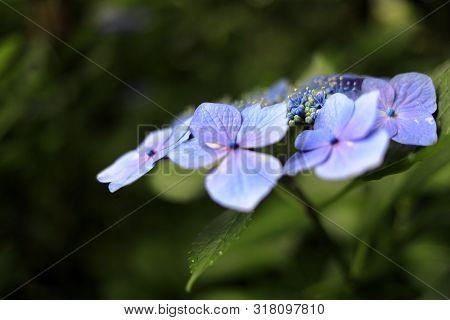 Hydrangea Macrophylla F.normalis In Kamakura, Kanagawa, Japan (one Purple Flower)
