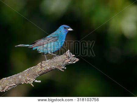 Indigo Bunting Perched With One Leg Forward On Tree Branch In Front Of Dark Moody Background.