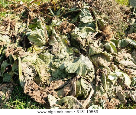 Cabagge Leaves Compost