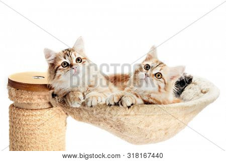 Siberian cats, two kitten from same litter lying in their den. Isolated on white background. Purebred, red color type