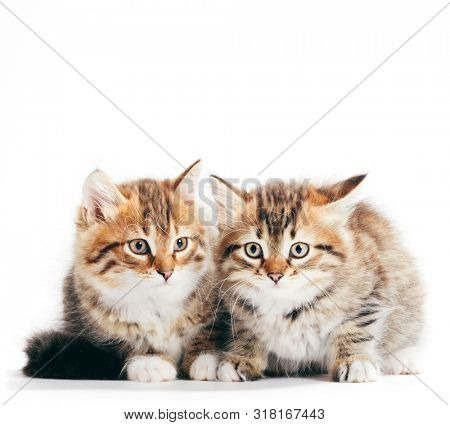 Siberian cats, portrait of two kittens from same litter isolated on white background. Purebred