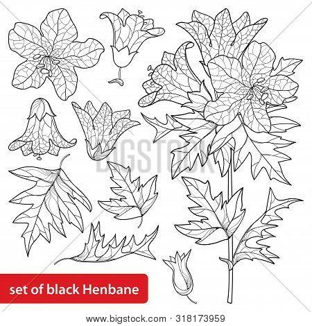 Vector Set Of Outline Toxic Hyoscyamus Niger Or Henbane Or Stinking Nightshade Flower Bunch, Fruit A