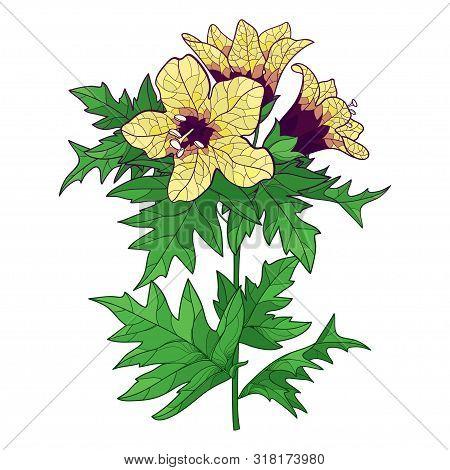 Vector Stem Of Outline Toxic Hyoscyamus Niger Or Henbane Or Stinking Nightshade Yellow Flower Bunch