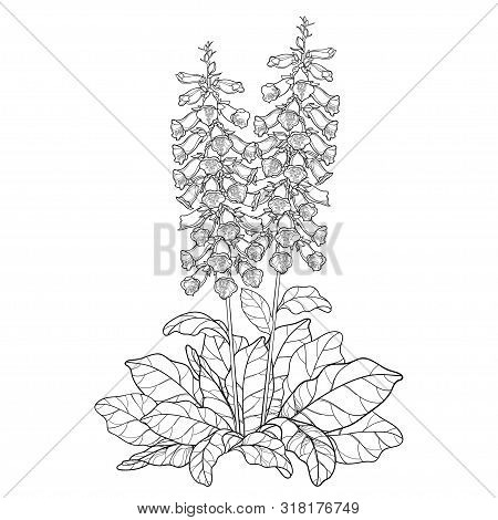 Vector Bush Of Outline Toxic Digitalis Purpurea Or Foxglove Flower Bunch With Bud And Leaves In Blac