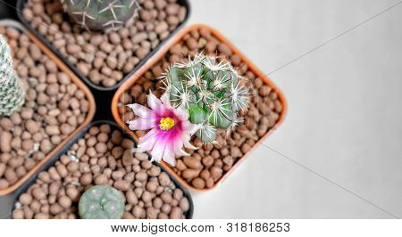 Mammillaria Schumannii Cactus With Blooming Flower Planted In A Pot