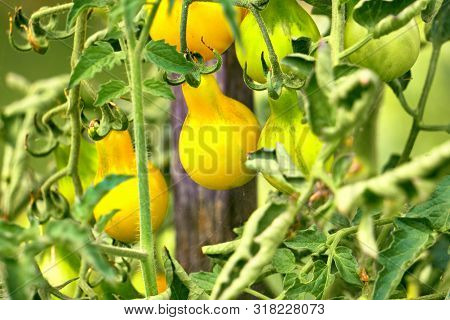 Yellow Teardrop Tomato Ready To Be Be Harvested