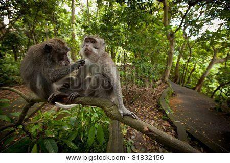 two monkeys in the monkey forest on Bali
